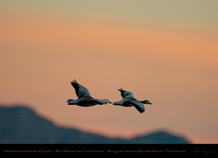 SnowGeese_BlueMorph_SunsetFlight_6077