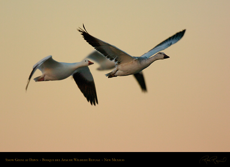 SnowGeese_DawnFly-by_4452