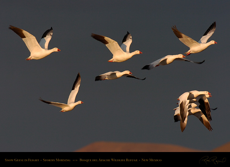SnowGeese_MorningFlight_3731