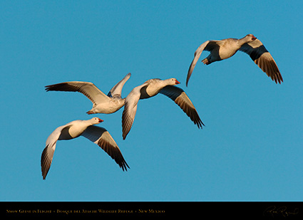 SnowGeese_MorningFlight_4182