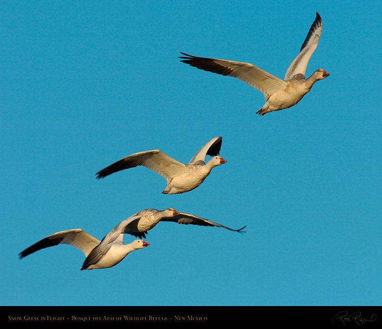 SnowGeese_MorningFlight_4186M