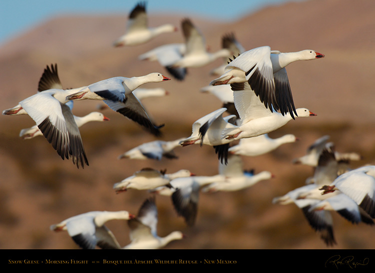 SnowGeese_MorningFlight_X0864