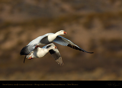 SnowGeese_MorningFlight_X0872