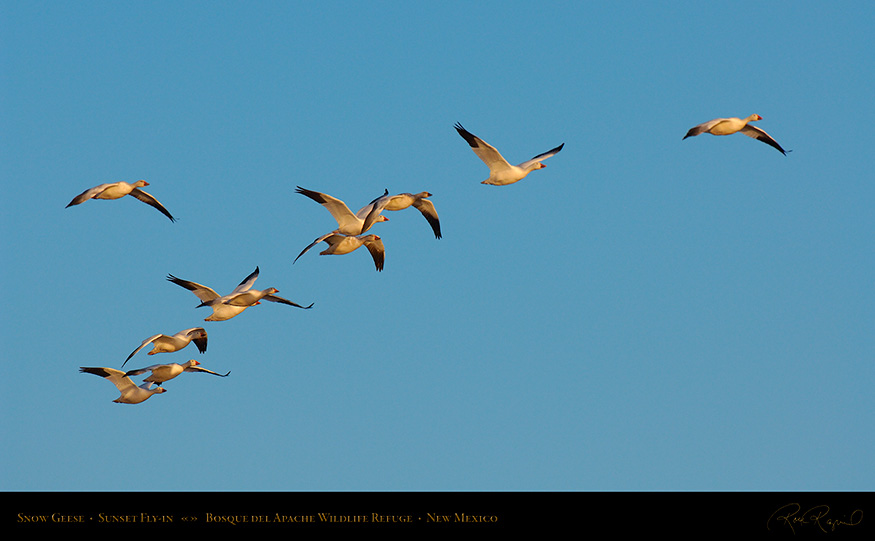 SnowGeese_SunsetFly-in_X9135_16x9