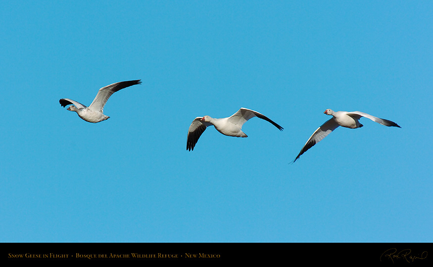 SnowGeese_inFlight_2141_16x9