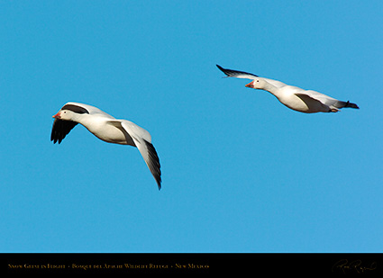 SnowGeese_inFlight_2144