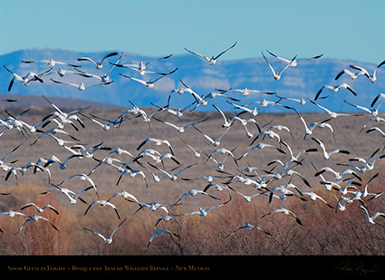 SnowGeese_inFlight_X9489