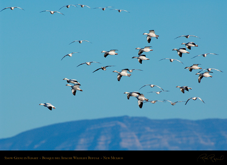 SnowGeese_inFlight_X9494