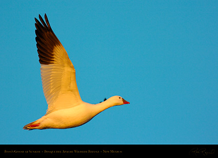 Ross'sGoose_atSunrise_5564