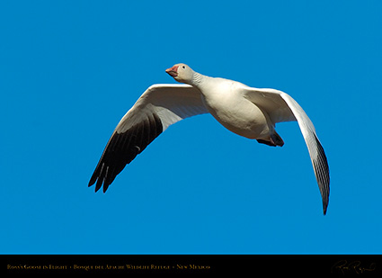 Ross'sGoose_inFlight_2134