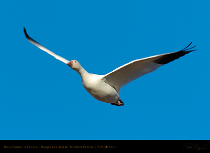 Ross'sGoose_inFlight_2135
