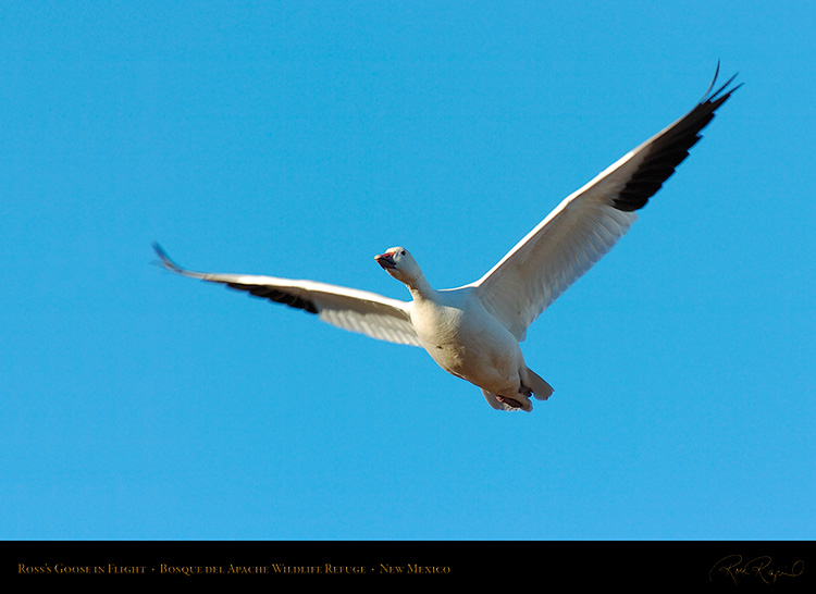 Ross'sGoose_inFlight_2989