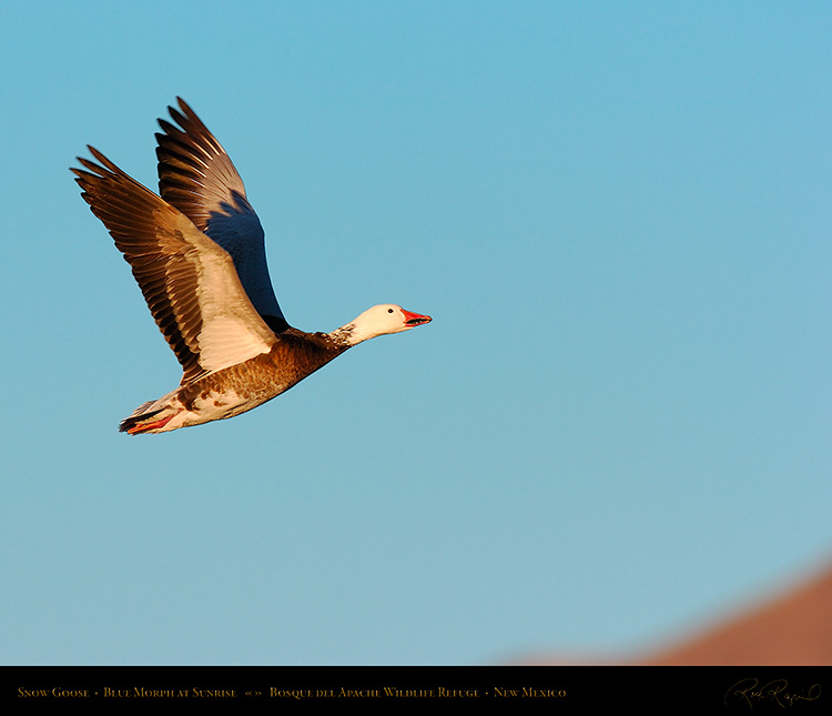 SnowGoose_BlueMorph_atSunrise_4540M