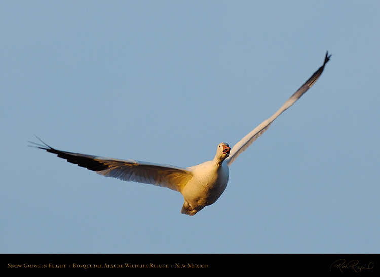 SnowGoose_MorningFlight_X0847