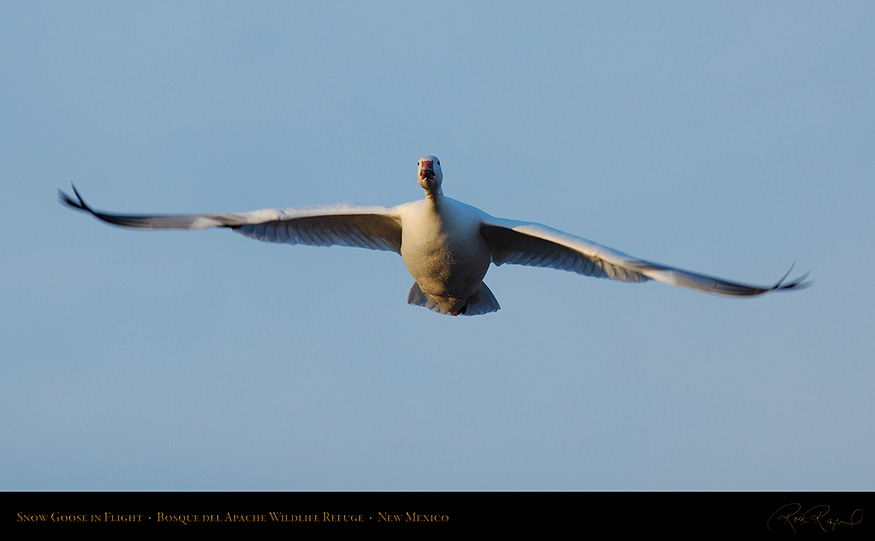 SnowGoose_MorningFlight_X0850_16x9