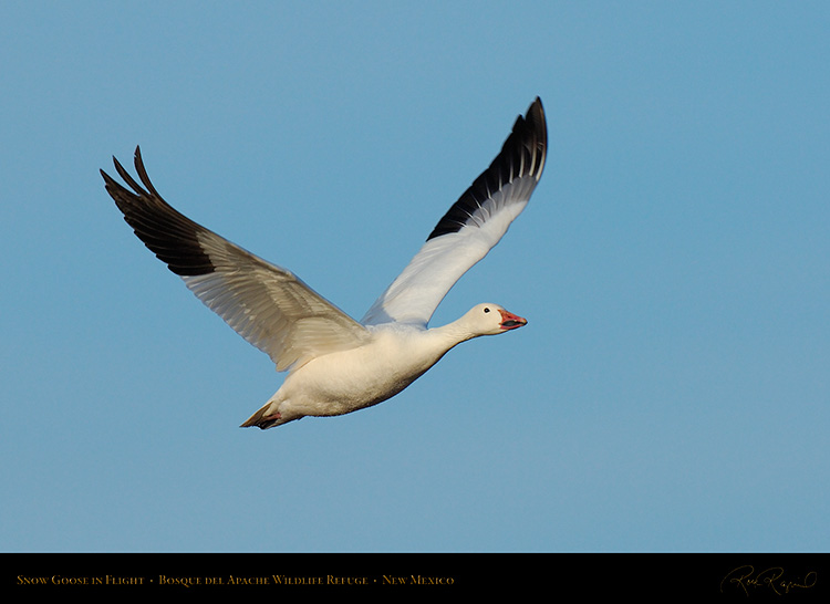 SnowGoose_MorningFlight_X0865