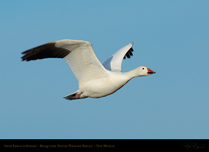 SnowGoose_MorningFlight_X0875