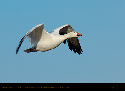 SnowGoose_MorningFlight_X0876
