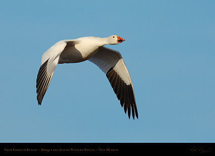 SnowGoose_MorningFlight_X0877