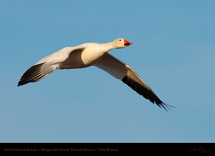 SnowGoose_MorningFlight_X0878