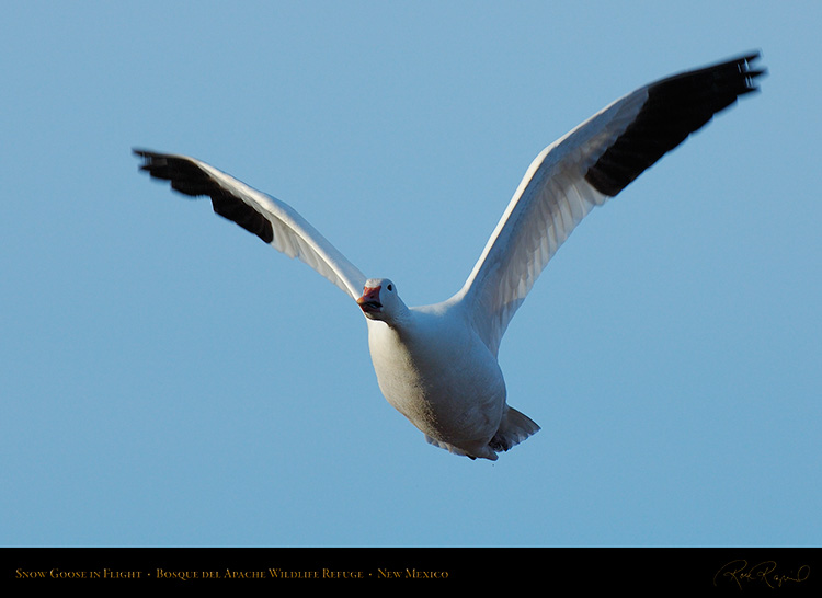 SnowGoose_MorningFlight_X0887