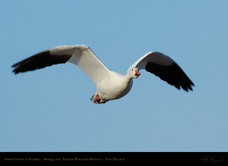 SnowGoose_MorningFlight_X0888