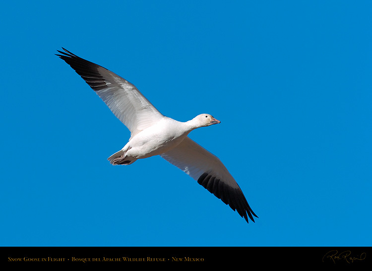 SnowGoose_inFlight_2225