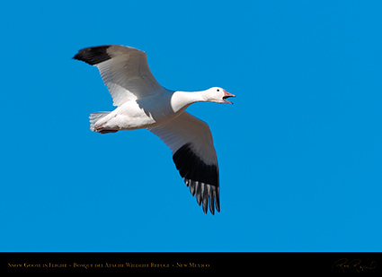 SnowGoose_inFlight_2230