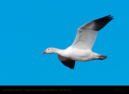 SnowGoose_inFlight_2236