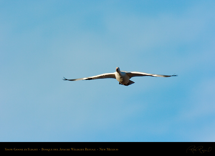 SnowGoose_inFlight_2987