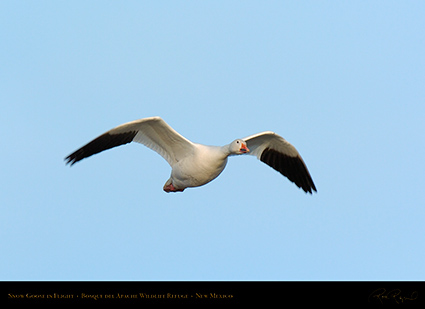 SnowGoose_inFlight_6718