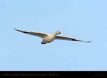 SnowGoose_inFlight_6719
