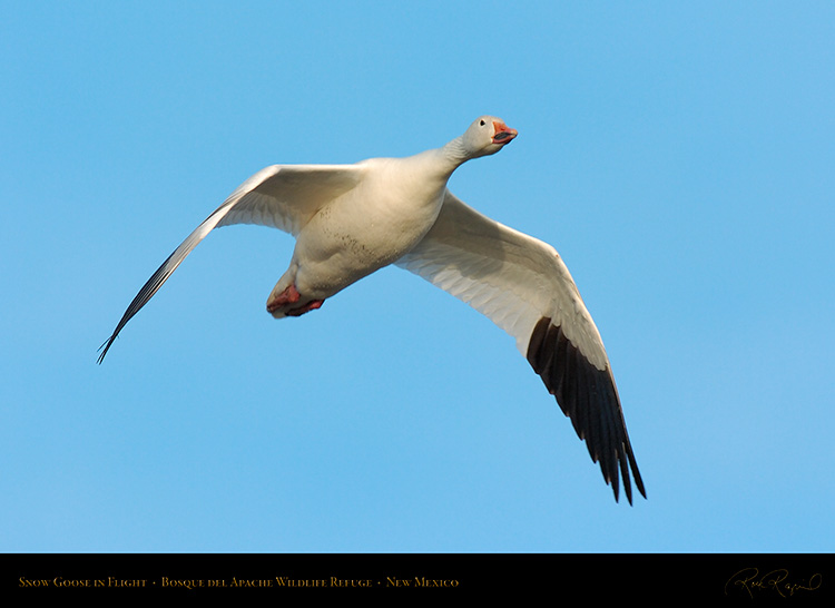 SnowGoose_inFlight_6720