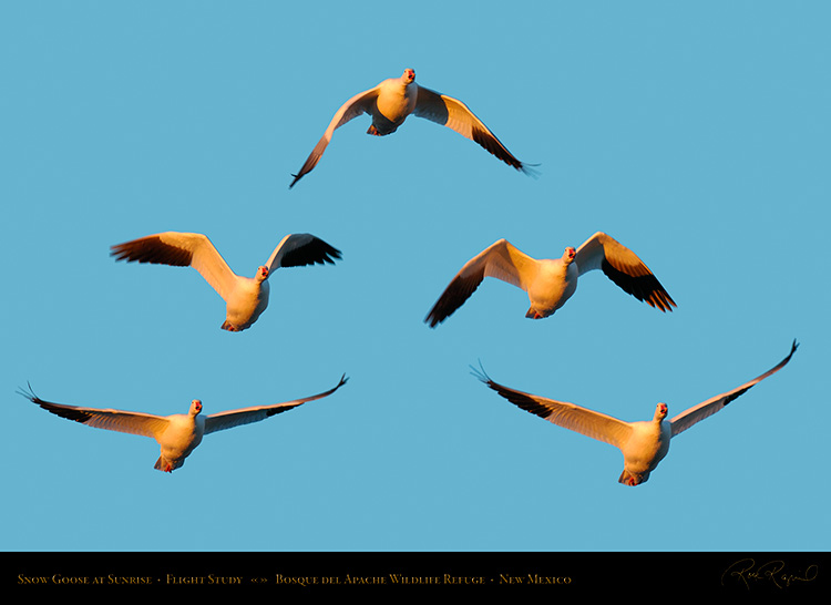 Snow_Goose_Flight_Study_4007-11_SXL