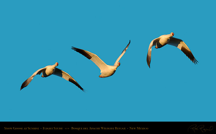 Snow_Goose_Flight_Study_4103-05_SXL