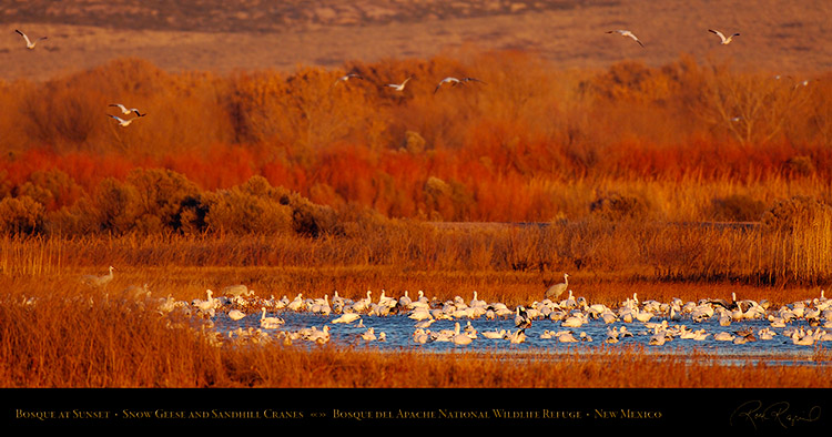 Bosque_Snow_Geese_at_Sunset_X3432_pano