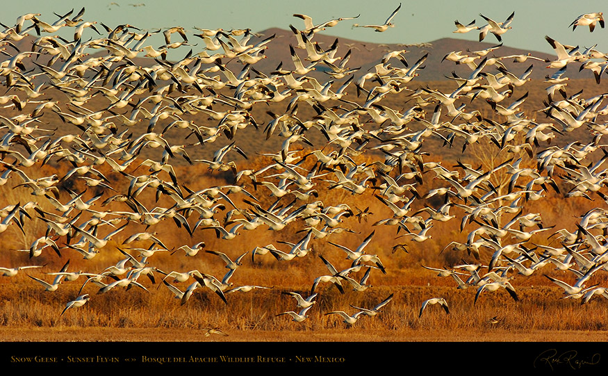 SnowGeese_SunsetFly-in_3072_16x9