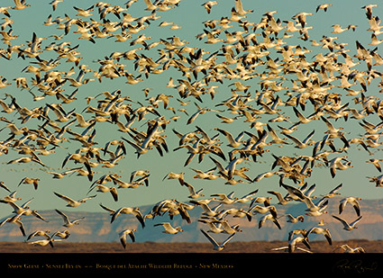 SnowGeese_SunsetFly-in_3074
