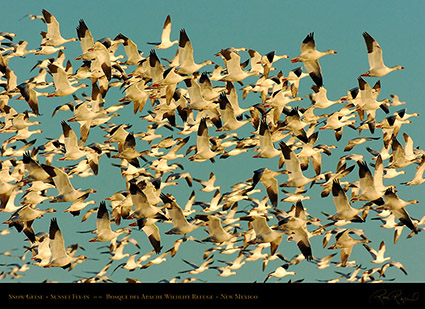 SnowGeese_SunsetFly-in_3076