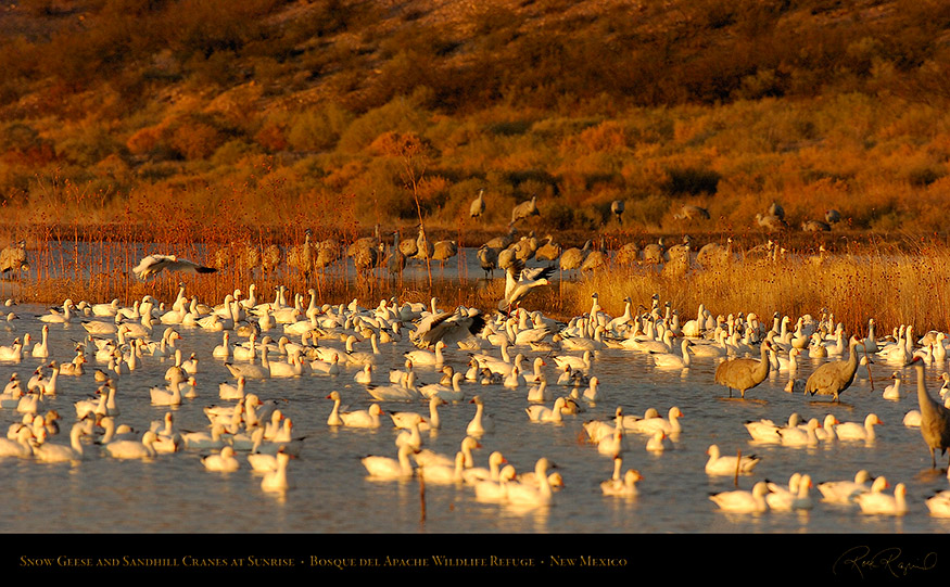 SnowGeese_andCranes_atSunrise_3529_16x9