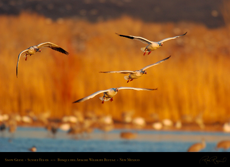 SnowGeese_SunsetFly-in_5925