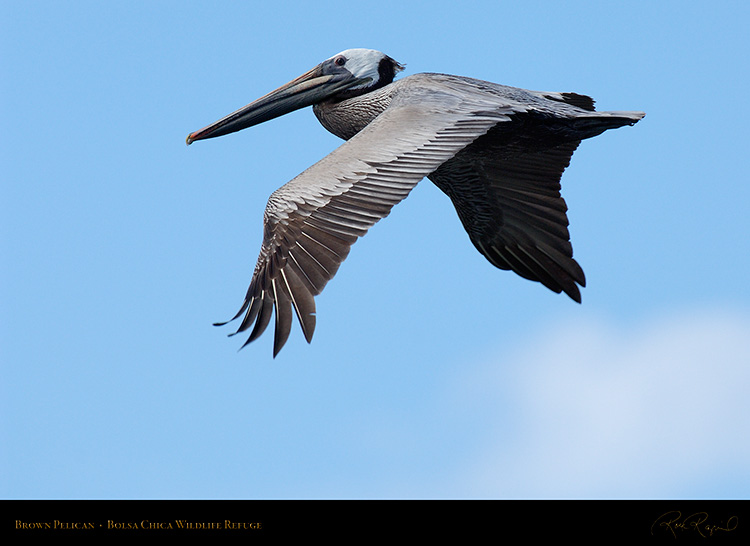 BrownPelican_Flight_X0045