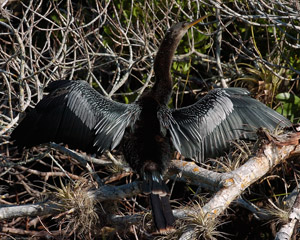 Anhinga_DryingWings_2193