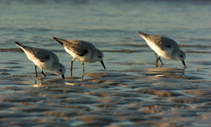 Black-Bellied_Plovers_Sunrise_1388
