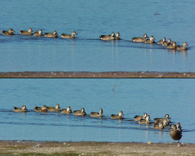 BlueWinged_Teals_0410-11