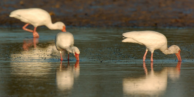 Ibis_Feeding_Sunrise_1467