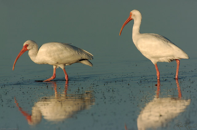 Ibis_Feeding_Sunrise_1506