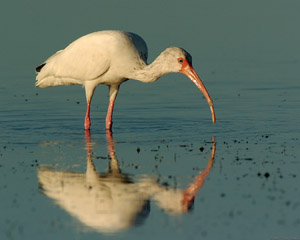 Ibis_Feeding_Sunrise_1514