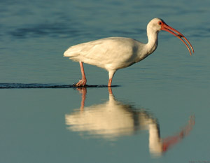 Ibis_Feeding_Sunrise_1523
