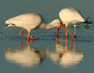 Ibis_Feeding_Sunrise_1532